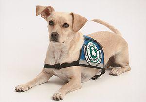 English: A Psychiatric Service Dog In Training