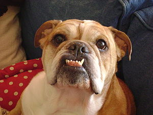 English: English Bulldog with characteristic u...